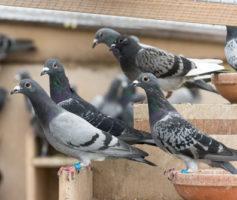 Conheça Técnicas Para Controle De Pombos